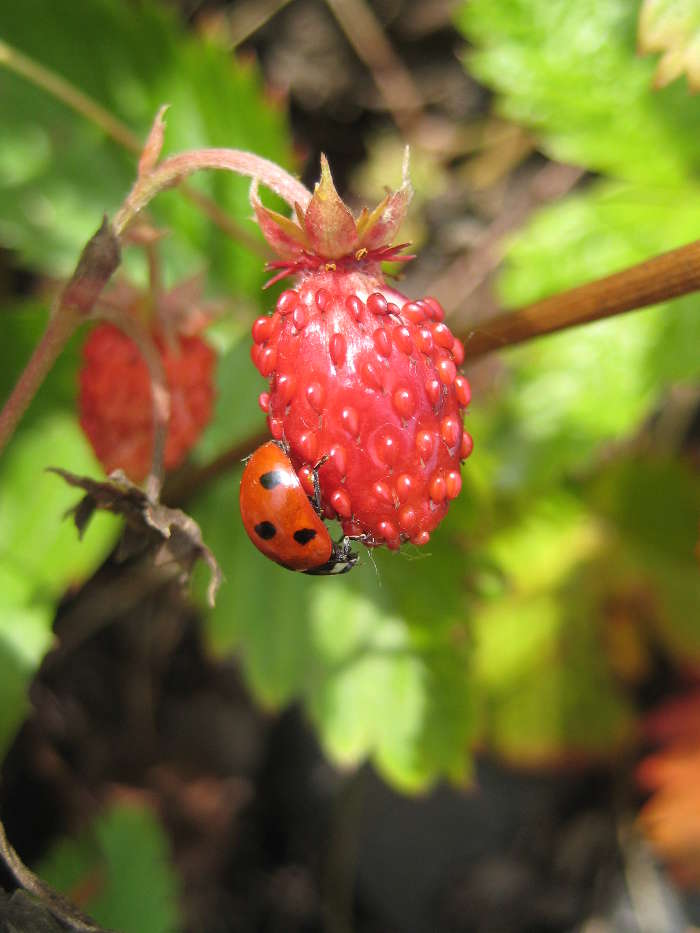 Plants, Strawberry, Insects, Ladybugs, Berries